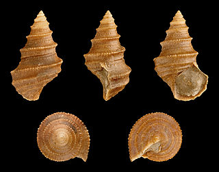 Eucyclidae Family of gastropods