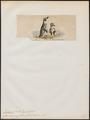 Eudyptes humboldtii - 1845-1863 - Print - Iconographia Zoologica - Special Collections University of Amsterdam - UBA01 IZ17800243.tif