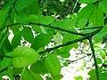 Euonymus verrucosa3pl.jpg