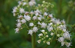 Eupatorium-rugosum-close.JPG