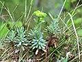 Euphorbia saxatilis (Felsen-Wolfsmilch) 2543 IMG.JPG