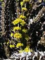 Euphorbia uhligiana 02.jpg