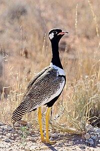 Eupodotis afraoides -Kalahari Gemsbok National Park, South Africa-8