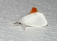 Euproctis chrysorrhoea (Linnaeus, 1758).jpg