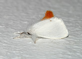 Brown-tail moth - Female with tail tuft of red/brown hairs