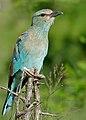 Eurasian Roller (Coracias garrulus semenowi) (16518343511).jpg
