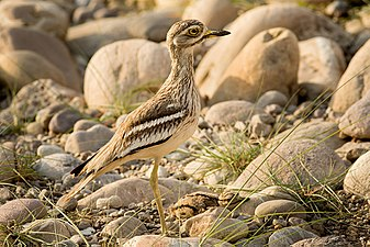 Eurasian thick-knee.jpg