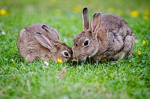 European-rabbits-1006621.jpg