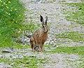 European Hare. Lepus europaeus (24502730167).jpg