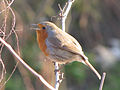 European Robin Singing.jpg