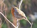 European Robin Singing.jpg