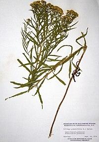 Euthamia graminifolia BW-1979-0914-9970.jpg