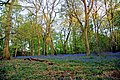 Evening Bluebells 3 (4584391139).jpg