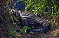 Everglades30(js)-American alligator.jpg