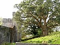 Evergreen oak - Powderham Castle - geograph.org.uk - 1569427.jpg