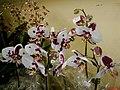 Exposição Nacional de Orquídeas de Catanduva no Colégio Nossa Senhora do Calvário - Colegião - panoramio (6).jpg