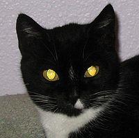 چرا چشم گربه برق میزند