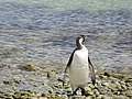 Facing forward looking into the water King Penguin Falkland Islands.jpg