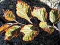 Fagus sylvatica roseo-marginata 0zz.jpg