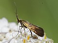 Fairy longhorn moth from Central Germany (7124504743).jpg