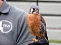 Falco sparverius -Vermont Institute for Natural Science-8a.jpg
