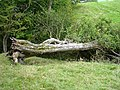 Fallen ash tree - geograph.org.uk - 575949.jpg