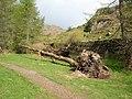Fallen tree - Neaum Crag - geograph.org.uk - 370734.jpg