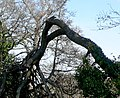 Fallen tree at Kingsteignton, Devon.jpg