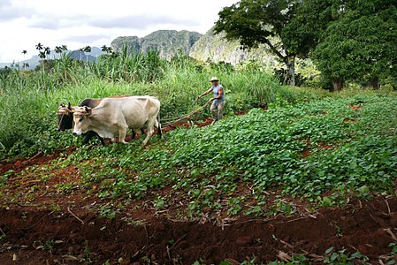 Farmer plows his field with oxen at Cuba-Vinales.jpg