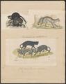 Felis catus - 1700-1880 - Print - Iconographia Zoologica - Special Collections University of Amsterdam - UBA01 IZ22100284.tif