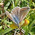 Female Common Blue Polyommatus icarus - Flickr - gailhampshire.jpg