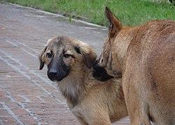 Indian pariah dog - Wikipedia