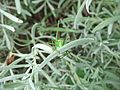 Female speckled bush-cricket (Leptophyes punctatissima) on lavender, Sandy, Bedfordshire (7915546256).jpg