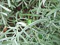 Female speckled bush-cricket (Leptophyes punctatissima) on lavender, Sandy, Bedfordshire (7915546256).jpg