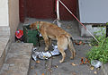 Feral dog eating from trash bin in Moscow 05.jpg