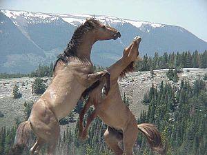 Pryor Mountains - Feral stallions fighting- Pryor Mountain Wild Horse Range - Montana