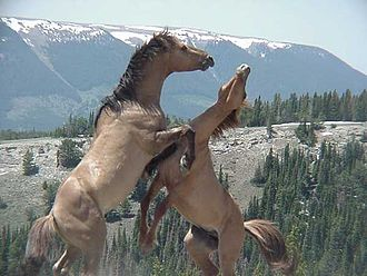 Pryor Mountain mustang - Pryor Mountain mustang stallions