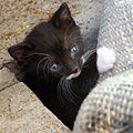 Feral tuxedo kitten 2.jpg