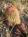 Ferocactus pilosus (5700333930).jpg