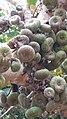 Ficus auriculata - Fruits.jpg