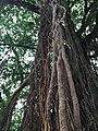 Ficus benghalensis @ Kodungallur India 02.jpg