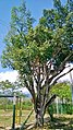 Ficus benjamina PARQUE LAS NACUMAS - 2.jpg