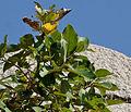 Ficus drupacea (Mysore Fig) in Bhongir fort, AP W IMG 2957.jpg