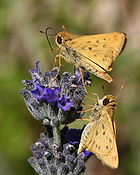 Fiery skipper pair5.jpg