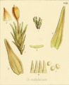 Fig 8 of Plate LVII The botany of the Antarctic voyage of H.M. discovery Erebus and Terror.png
