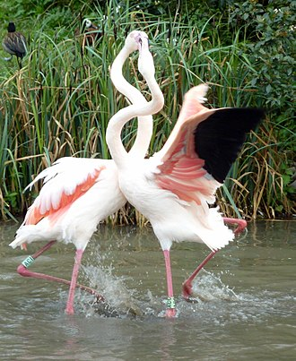 Intraspecific competition - Flamingos competing via interference competition, potentially for territories, mates or food.