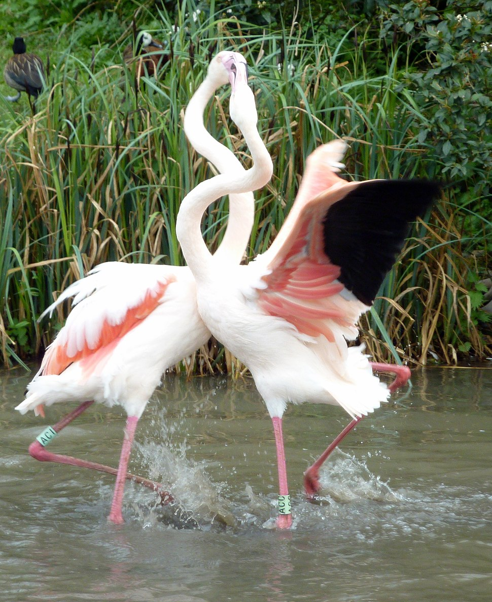 Fighting Flamingos (6911914548)
