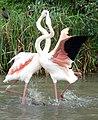 Fighting Flamingos (6911914548).jpg