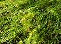 Filamenteuse et bryophytes près surf MDCascade.JPG
