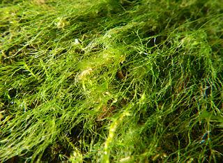 Riasy - nižšie rastliny
